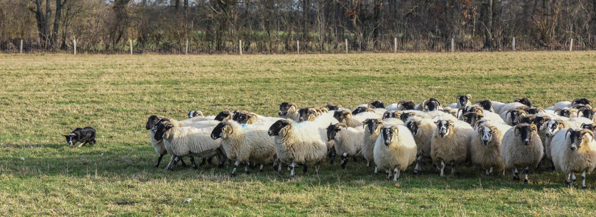 chien-rassemble-troupeau
