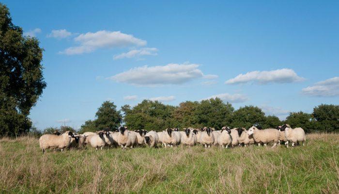 agnelles