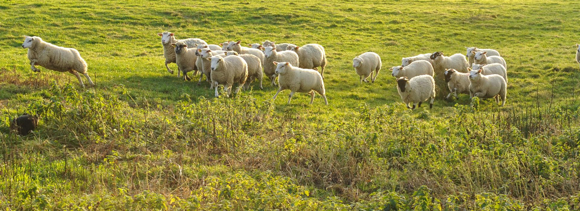 Des agnelles croisées