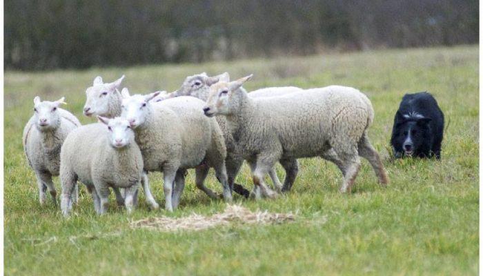 chiens de berger, troupeau, travail, entrainement